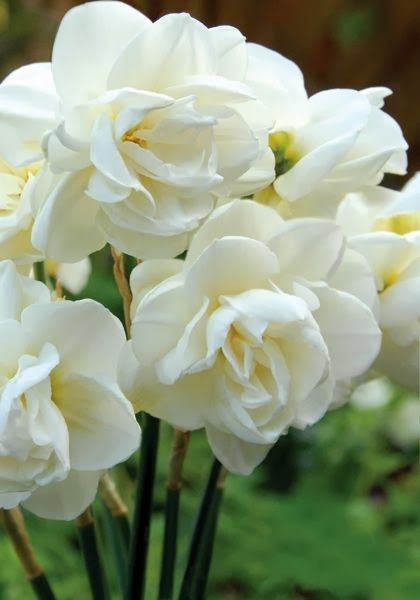 White Bridal Crown narcissus